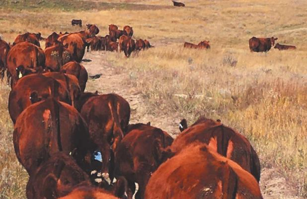 Campbell Red Angus tweaks tradition